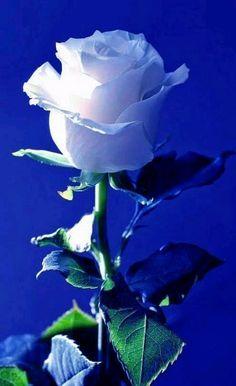 Ramo de 6 Rosas Blancas, Rosas Blancas para Regalar, Arte Floral, Rosas Blancas para Regalar en Nacimientos, Rosas Blancas para Día de la Madre